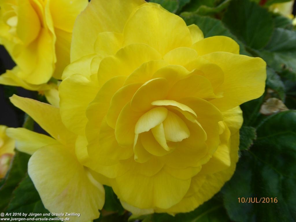 Begonien (Begonia) in gelb