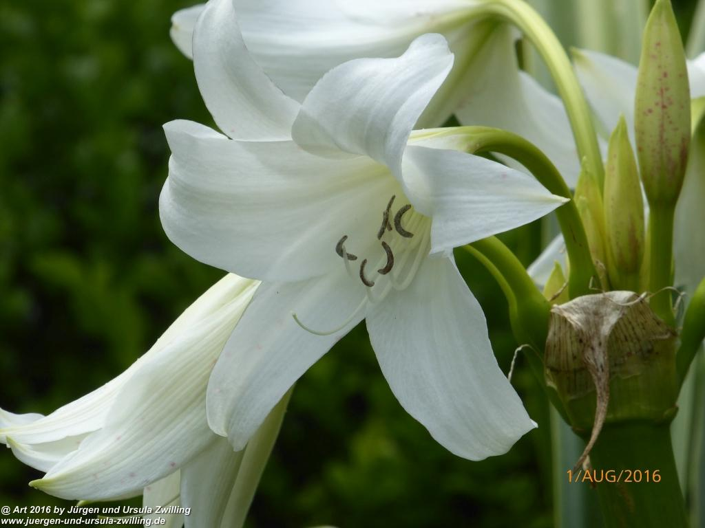 Hakenlilien (Crinum) in weiß