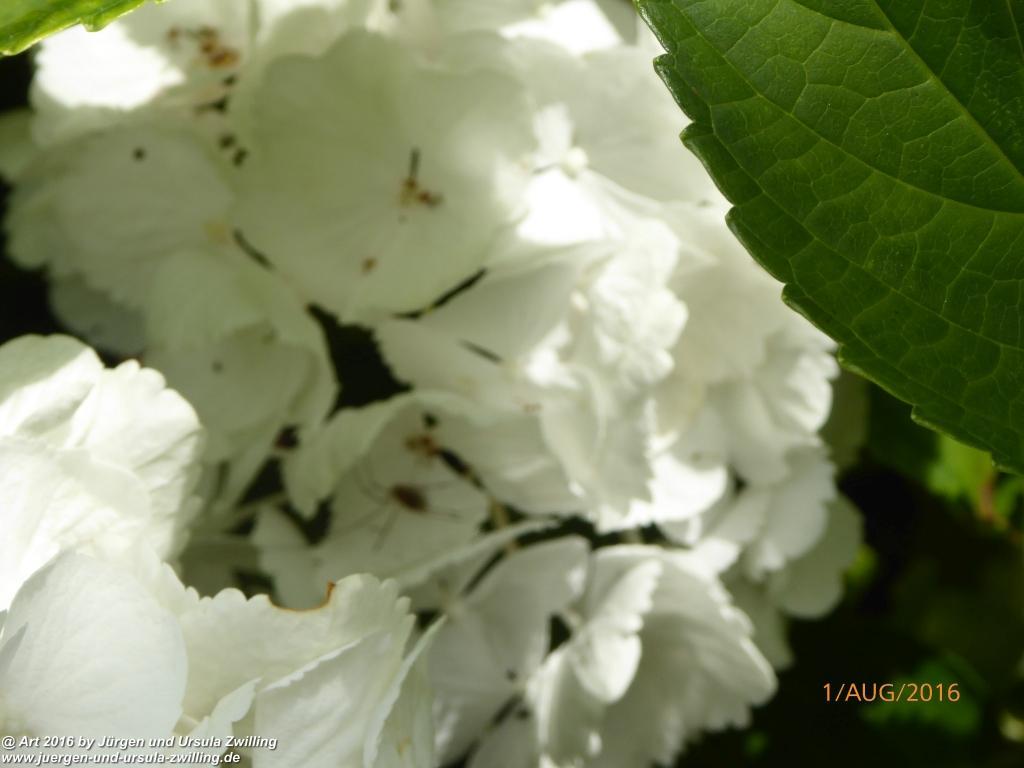 Hortensien (Hydrangea) in weiß