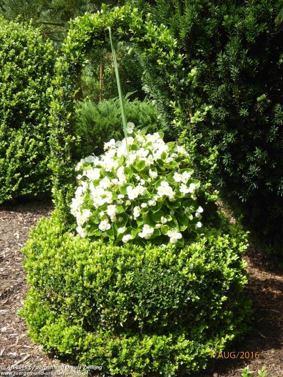 Buchsbaumkorb mit weißer Begonie