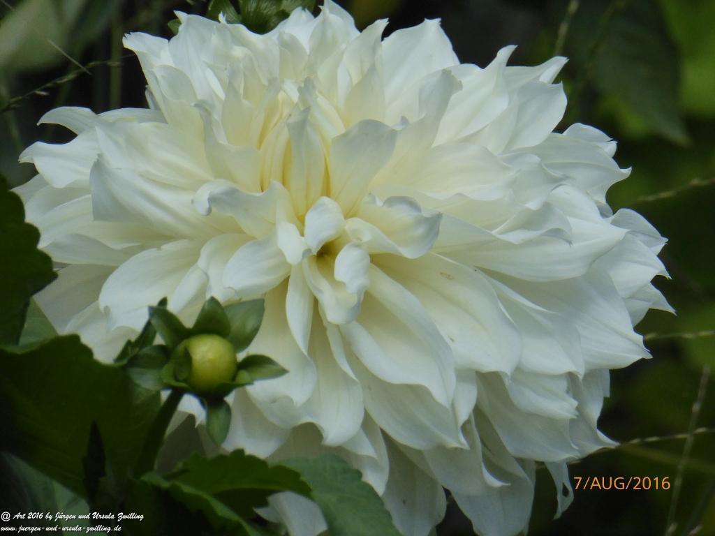 Dahlie (Dahlia) in weiß