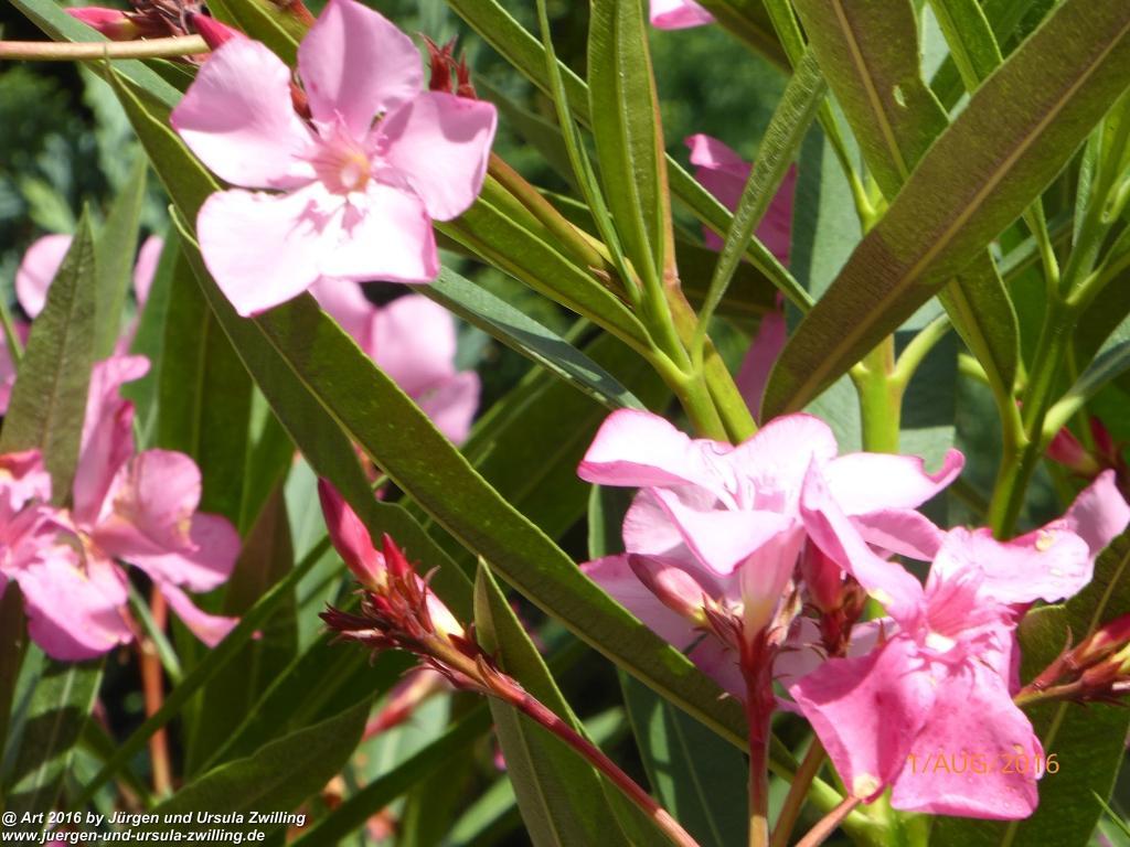 Rosa Oleander