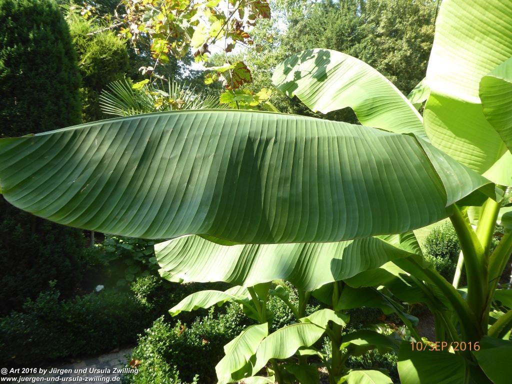 Musa basjoo - winterharte Banane Pflanze immer wieder ein Wachstumswunder