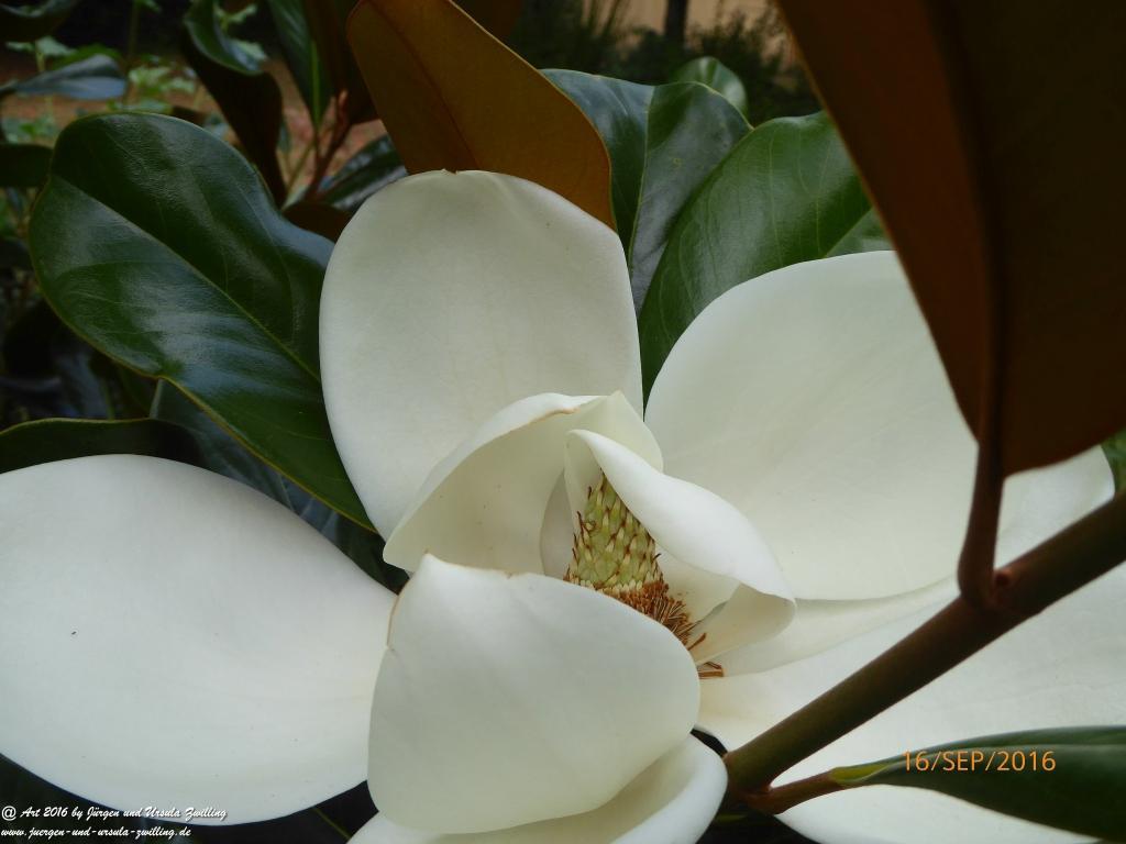Blüte der Immergrünen Magnolie (Magnolia grandiflora )
