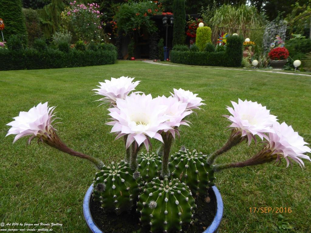 Echinopsis ein Tag und Nacht blühender Kaktus