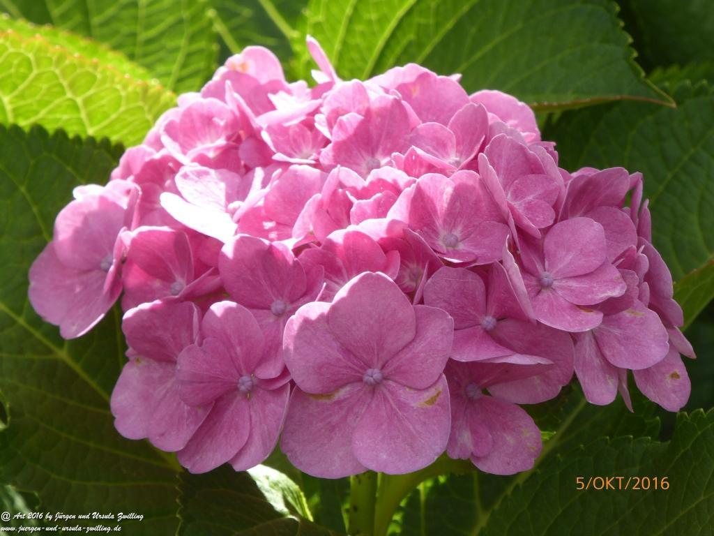 Hortensien (Hydrangea) im Oktober