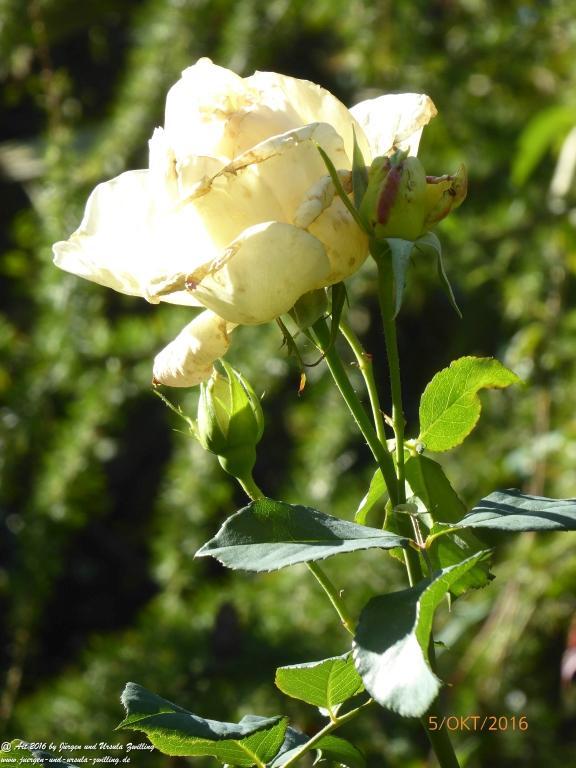 Oktober- Rosen
