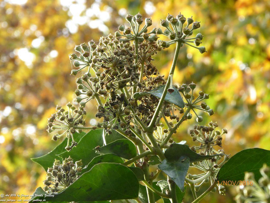 Blühendes Efeu - Herbstlicher Lebensspender