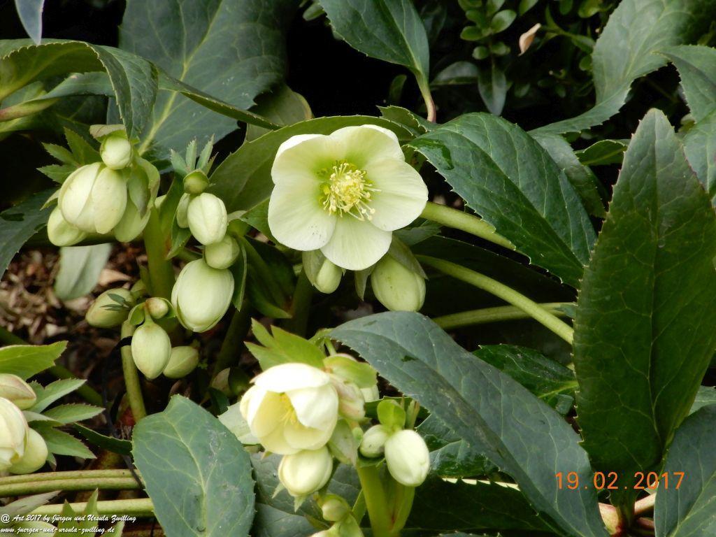 Schneerose, Christrose, Weihnachtsrose oder Schwarze Nieswurz (Helleborus niger)
