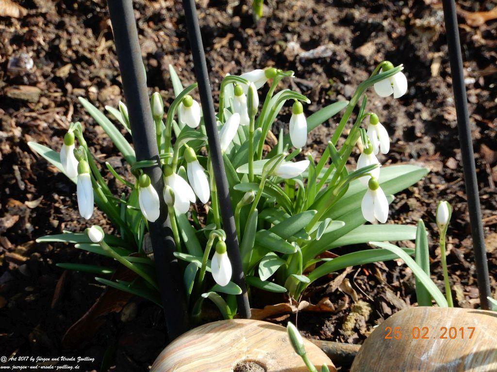 Die ersten Frühlingsboten Schneeglöckchen (Galanthus) und  Krokusse Crocus