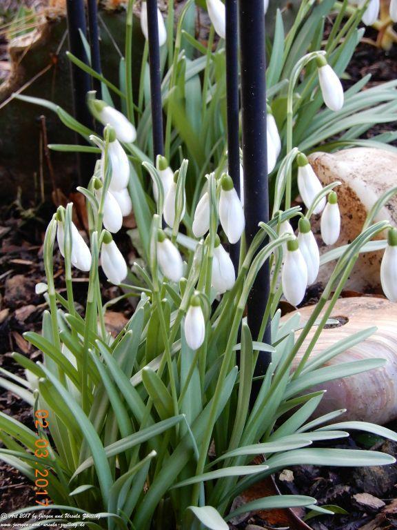Schneeglöckchen (Galanthus) -Frühlingsboten