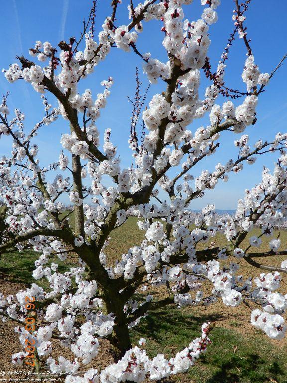 Frühlings- und Blüten-Start in Rheinhessen - Mainz Finthen
