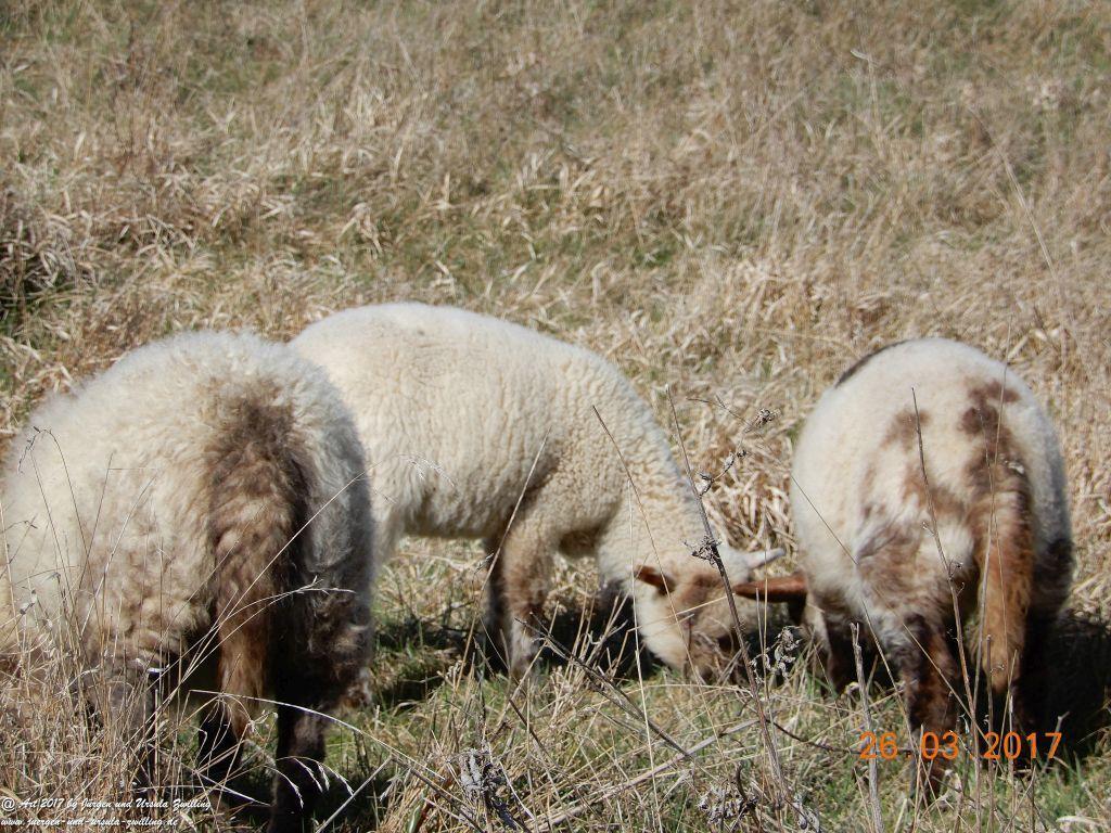 Schäfchen - Schafe in Rheinhessen - Mainz Finthen