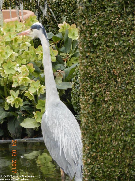 Reiher (Ardeidae) - Besuch im Garten