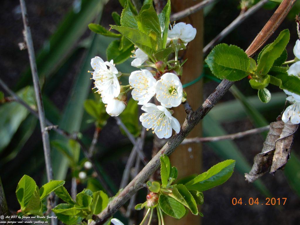 Obstbaumblüte