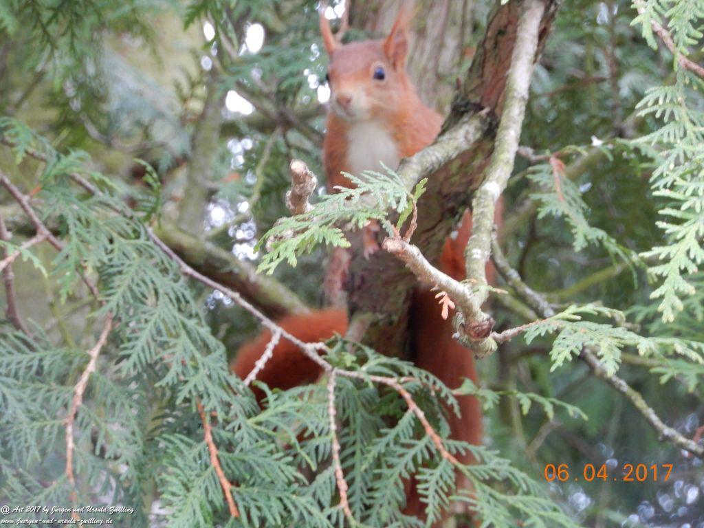 Eichhörnchen spielen