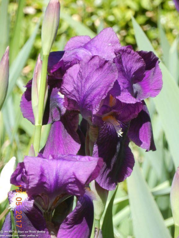 Lilien (Lilium) lila
