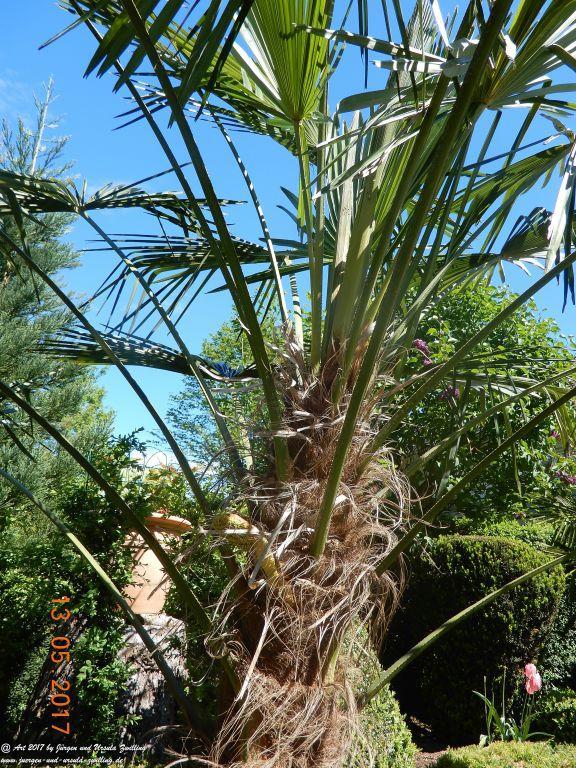 Palmenblüte (erstmals)