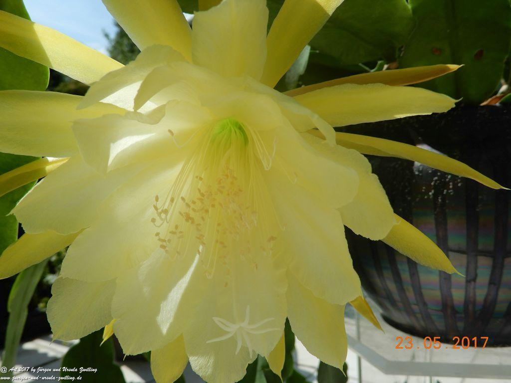 Epiphyllum crenatum - Kaktus