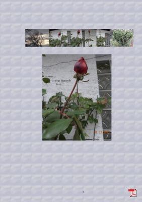 letzte Rose 2012 - erste Rose 2013